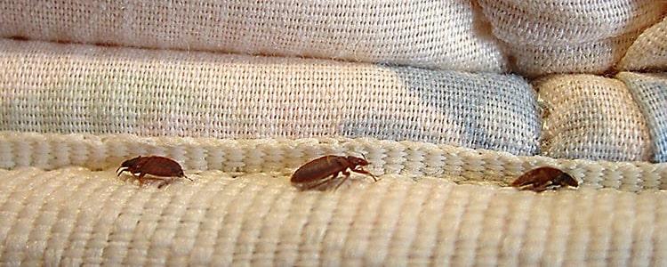 Bed Bug Control Mornington