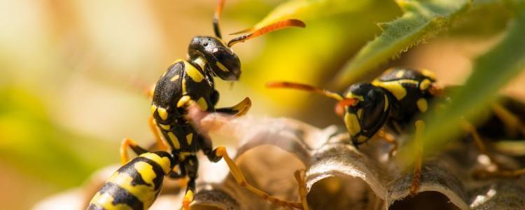 Bees And Wasp Control Mornington