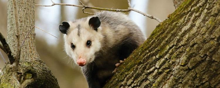Possum Removal Mornington